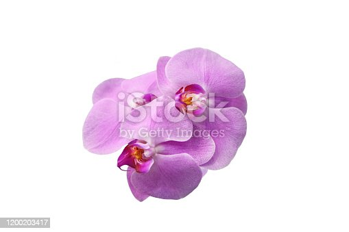 Several bright pink Orchid flowers on a white background