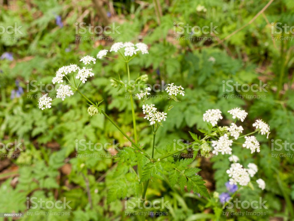 Several Buds of Hogweed Poking Through some Foliage stock photo