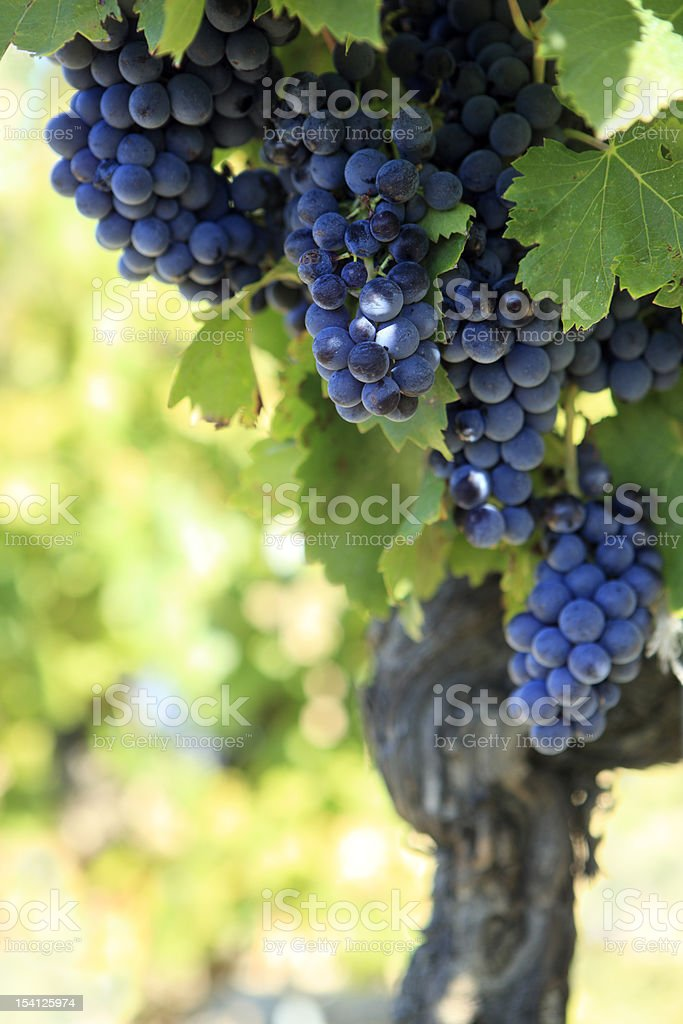 Several bunches of plump red wine grapes growing on the vine stock photo