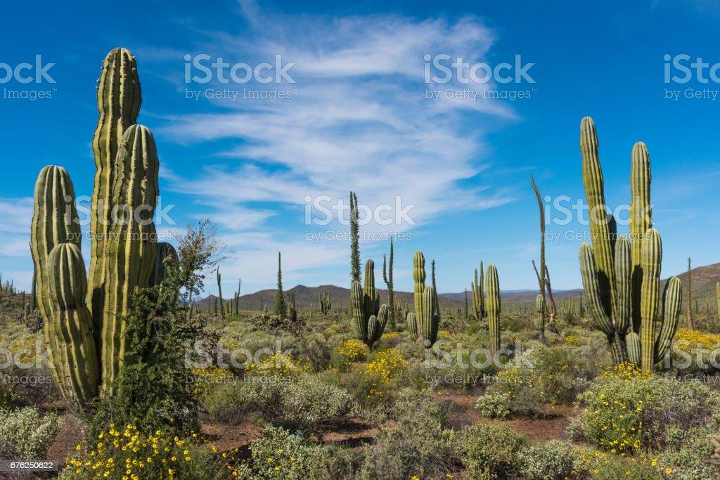 Varios cactus Cardón, girasoles y Boojums en Baja California - foto de stock