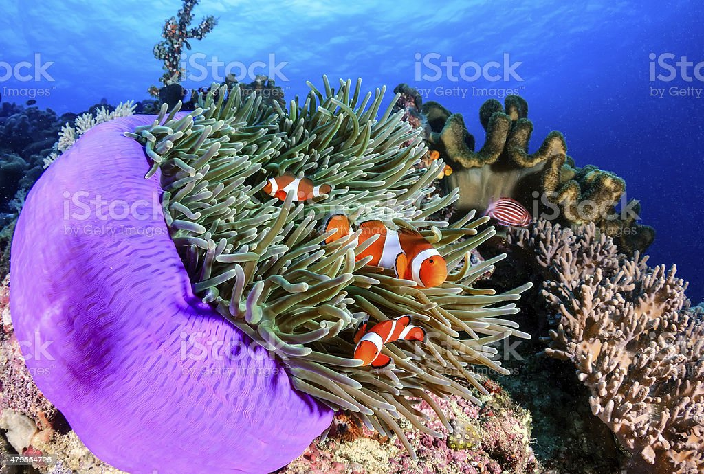Several Clownfish in a purple anemone on tropical coral reef stock photo