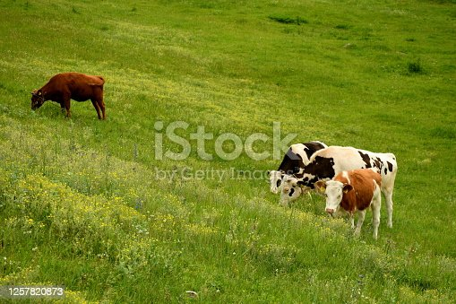 Several colorful cows grazing together next to a lush field, meadow, or pastureland seen on a cloudy yet warm summer day on a Polish countryside during a hike