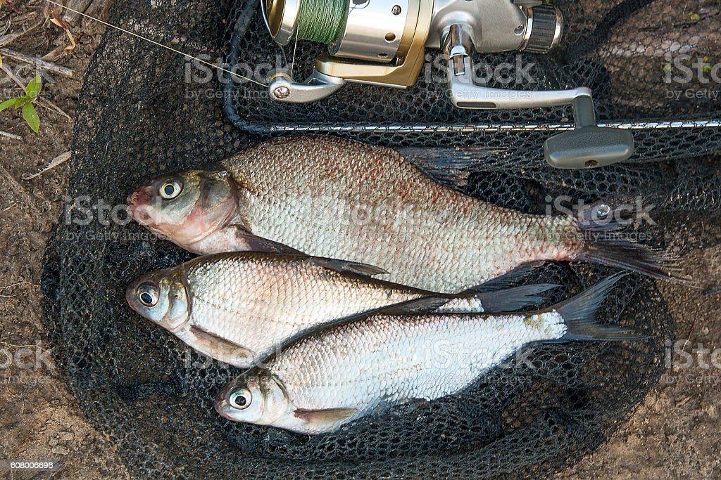Several common bream fish and silver bream bream fish stock photo