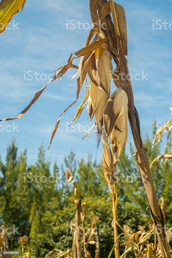 Several corn cob on the plant stock photo