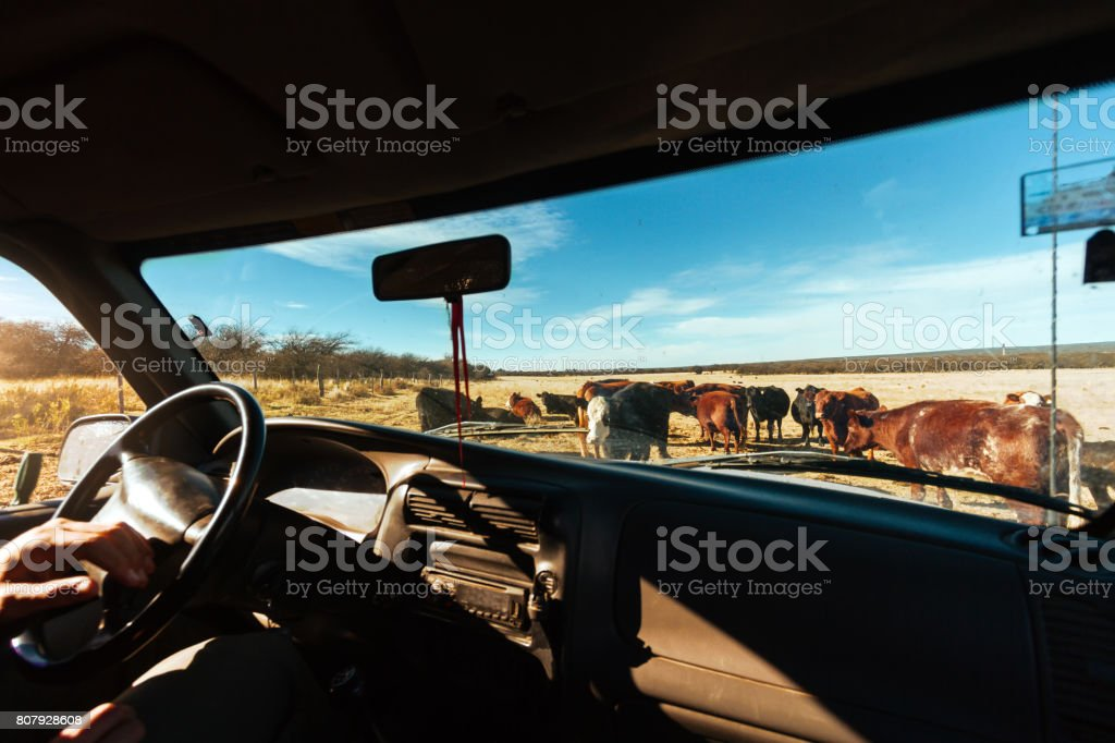 Several cows aberdeen angus seen through the windshield of a pickup truck stock photo