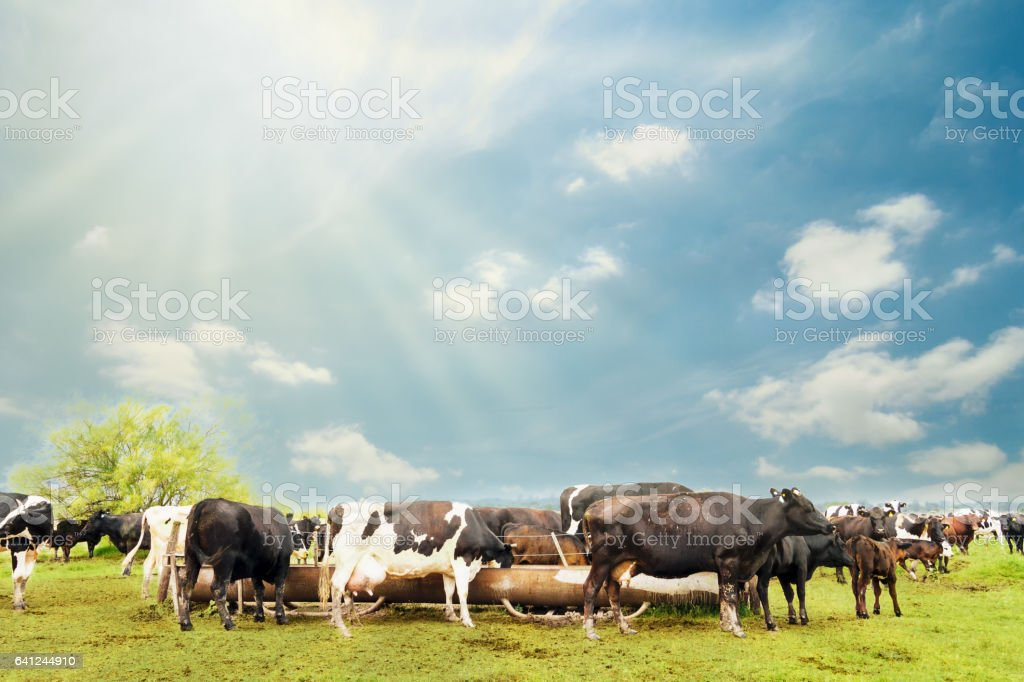 Several cows drinking water from a drinking fountain in a field stock photo