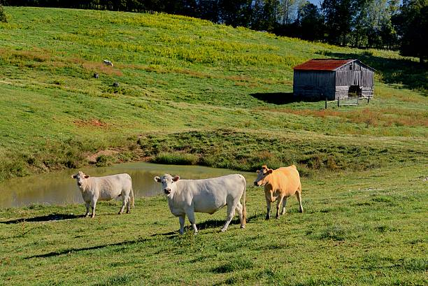 mehrere kühe (bos taurus) genießen sie das leben auf dem bauernhof. - moo stock-fotos und bilder