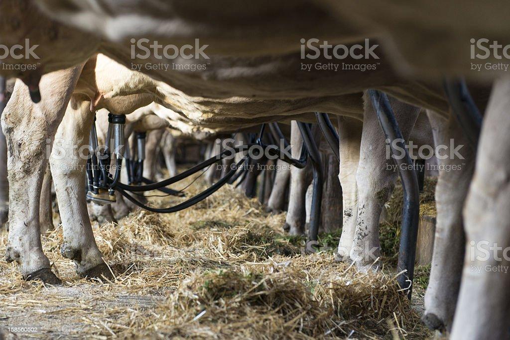 한 개의 소 우유관 발행기 연결되어 젖통 royalty-free 스톡 사진