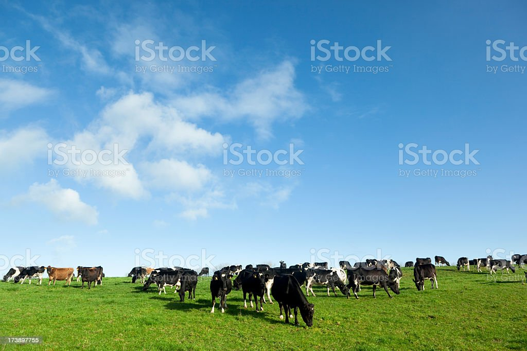 Several dairy cows eating grasses on the field royalty-free stock photo