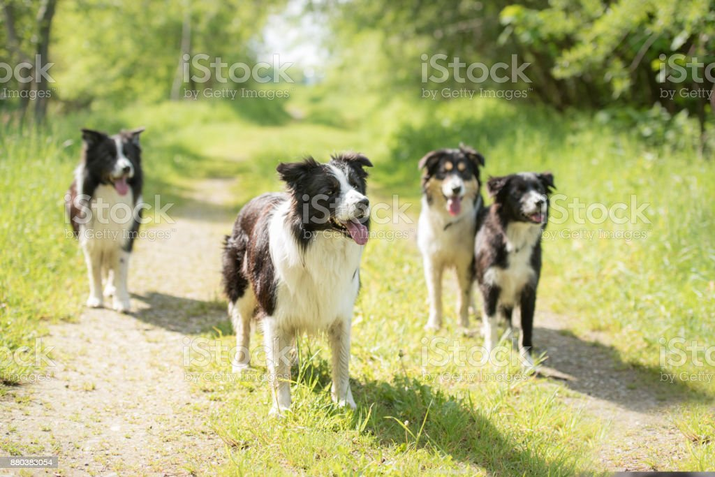 several dogs in spring ( rural environment ) - pack of border collies stock photo