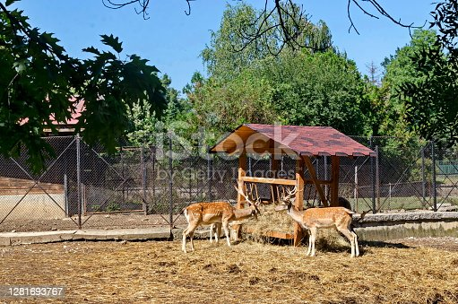 istock Several fallow-deer feed with hay in rack at park 1281693767