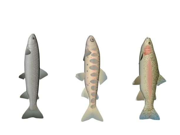 Several fish colors on a white background - 3d rendering stock photo