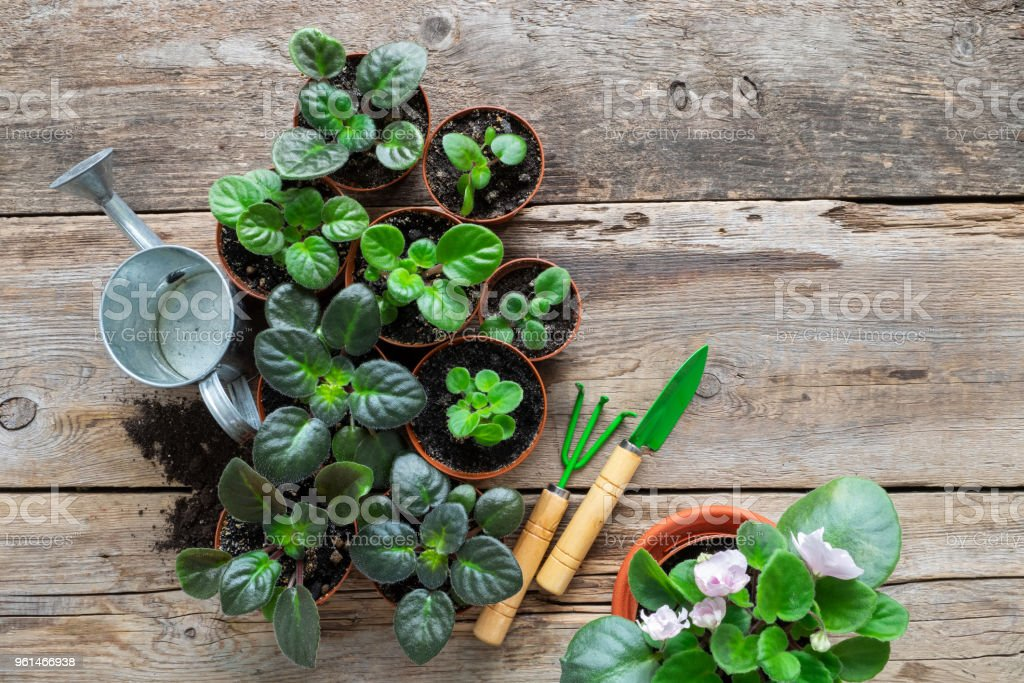Several flowerpot of home plants and saintpaulia flowers. Planting potted flowers, watering can and garden tools. Top view. Several flowerpot of home plants and saintpaulia flowers. Planting potted flowers, watering can and garden tools. Top view. African Violet Stock Photo