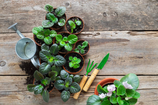 Several flowerpot of home plants and saintpaulia flowers. Planting potted flowers, watering can and garden tools. Top view. stock photo