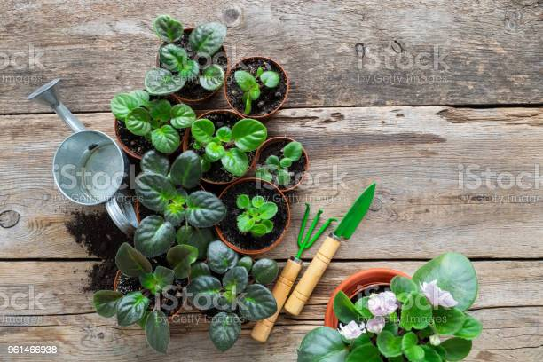 Several Flowerpot Of Home Plants And Saintpaulia Flowers Planting Potted Flowers Watering Can And Garden Tools Top View Stock Photo - Download Image Now