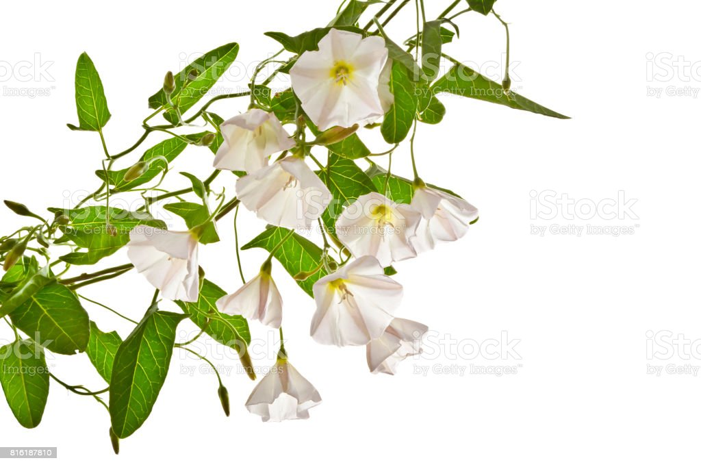 Several flowers of bindweed  on a white background. stock photo