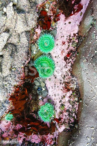 istock Several Giant Green Anemone surrounded by pink Coralline Algae. 589542242