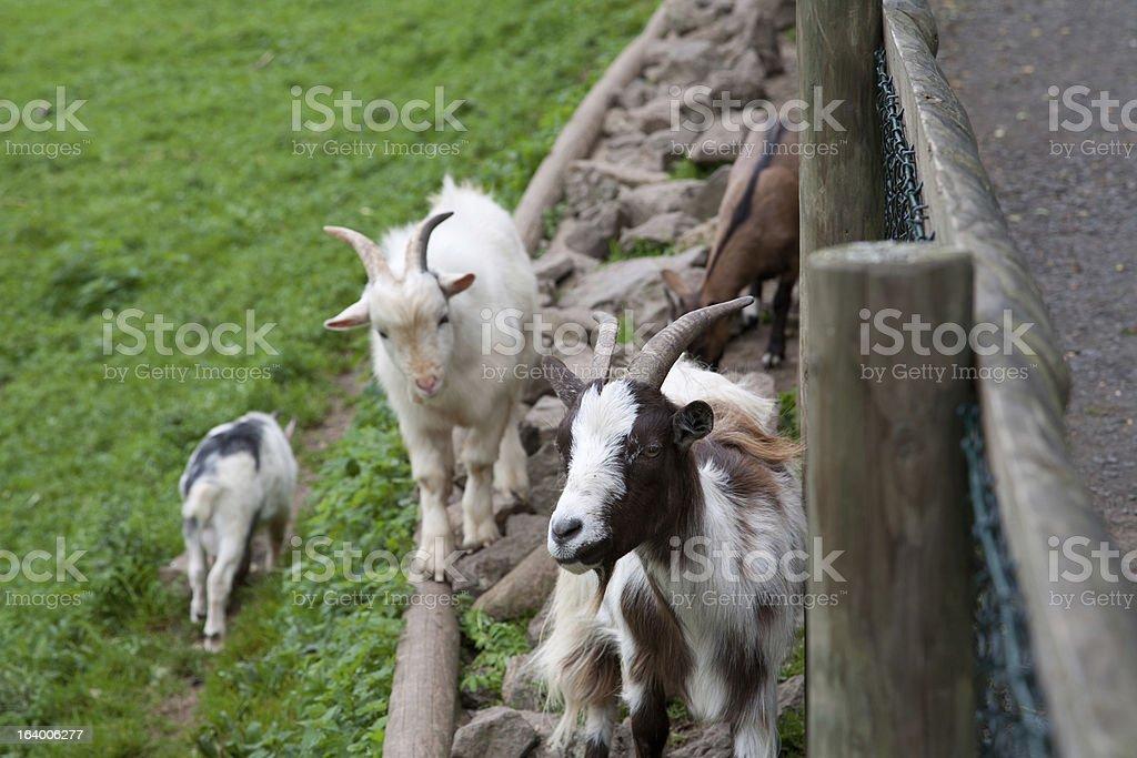 Several Goats royalty-free stock photo