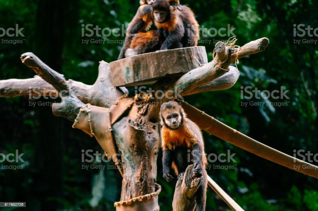 Several golden-bellied capuchin monkeys on a branch stock photo