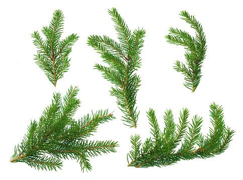 Several green fir branches