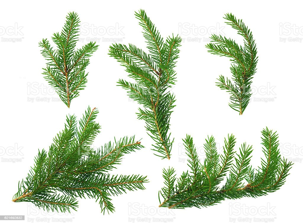 Several green fir branches stock photo