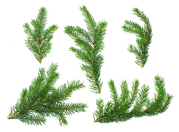 several green fir branches - ast pflanzenbestandteil stock-fotos und bilder