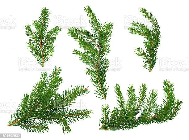 Photo of Several green fir branches
