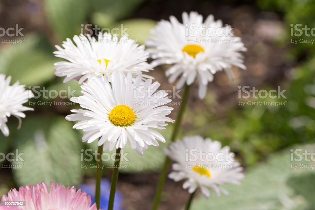 Several Growing White Daisies stock photo
