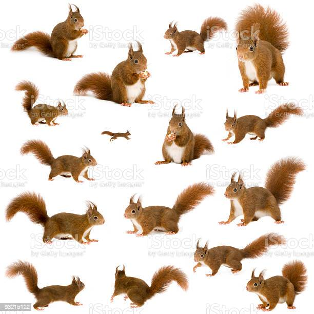 Eurasian red squirrels in front of a white background.