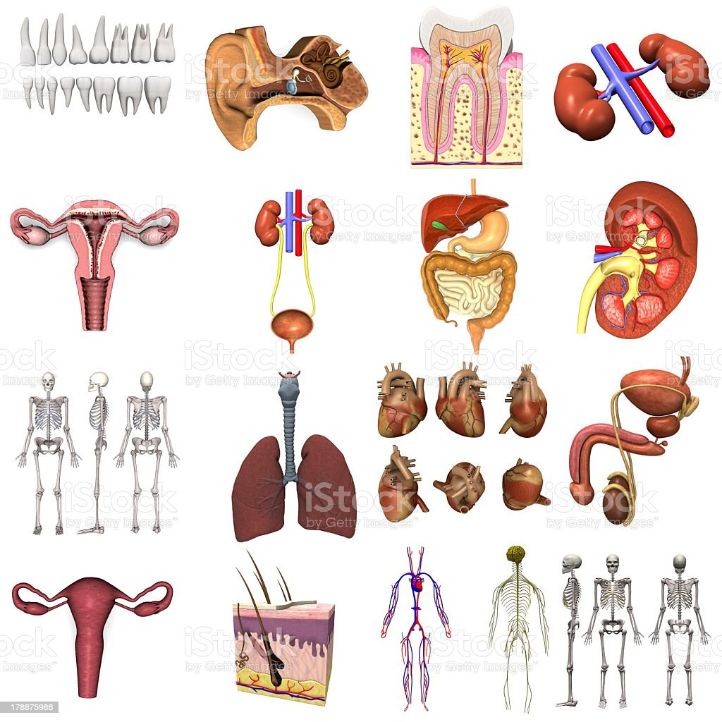 Several internal organs on a white background royalty-free stock photo