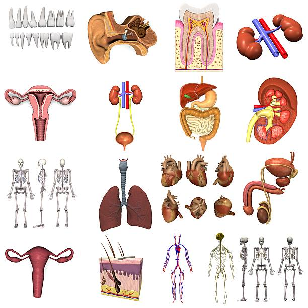 Several internal organs on a white background stock photo
