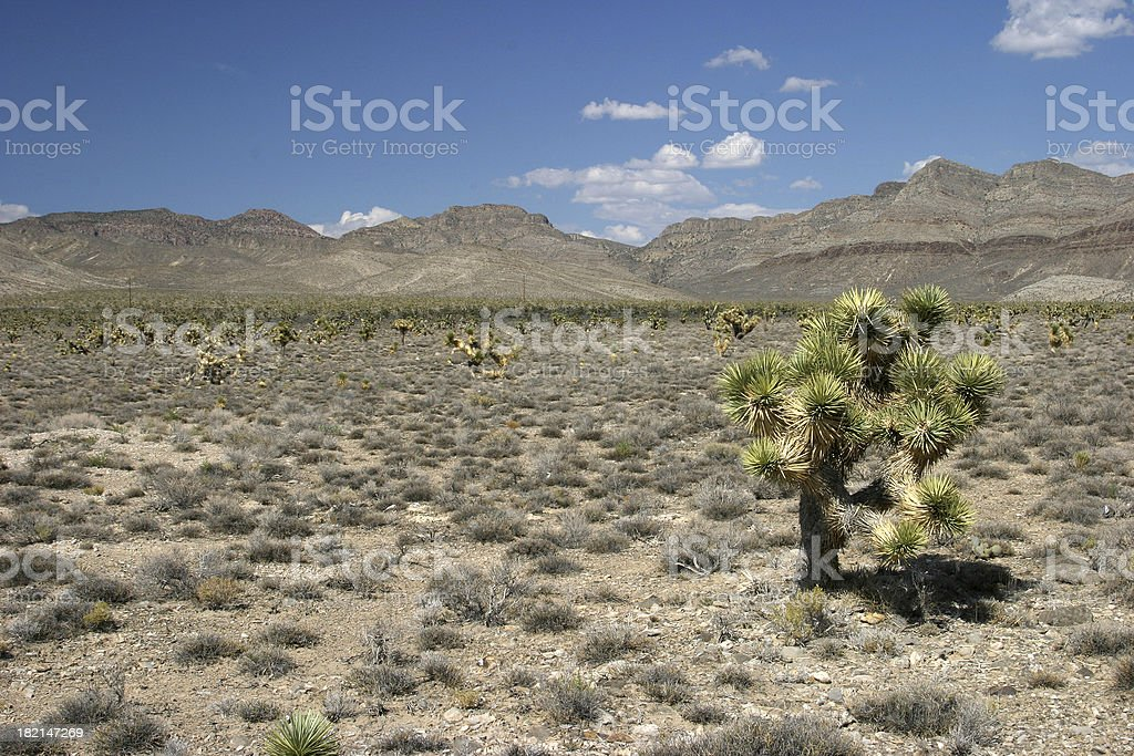Several joshua trees in the desert royalty-free stock photo