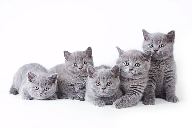 Several kittens lying and looking at the camera picture id530438892?b=1&k=6&m=530438892&s=612x612&w=0&h=xlw7jznkyontb biparlwzllh9nk87y1bwpmbgktoc0=