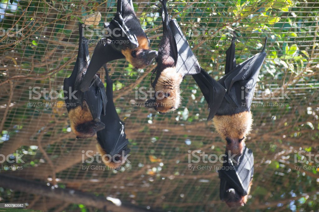 Several Lyle's flying foxes. Pteropus lylei. stock photo