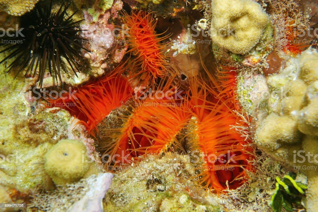 Several mollusks Flame scallop Ctenoides scaber stock photo