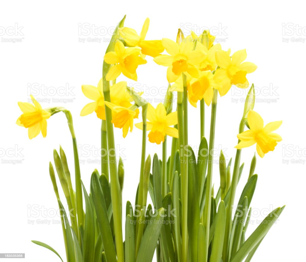 Several narcissus flowers in a white background stock photo