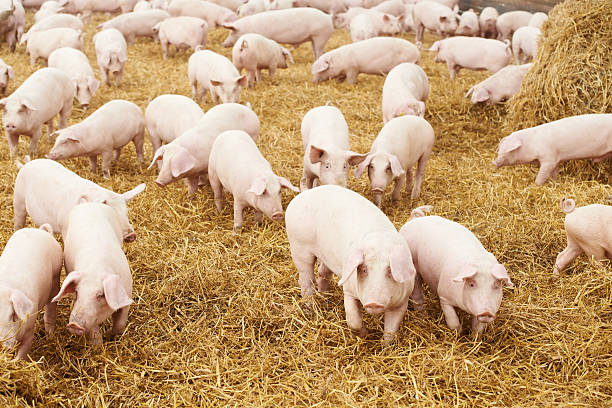 Several pigs meandering in a field of clean hay  stock photo
