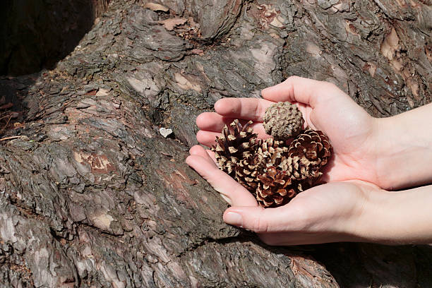 latvian outdoor girl with pine cones in cupped hands - whiteway latvian outdoor girl stock photos and pictures