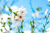 Several plum flowers on a branch against a blue sky. Beautiful bright background with blur.