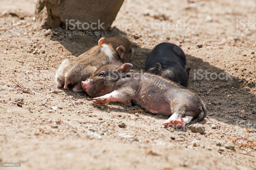Several pot bellied pig royalty-free stock photo