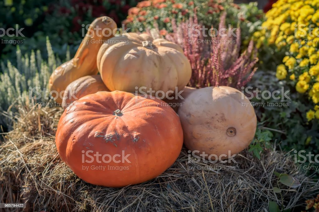 Several real organic pumpkins and autumn flowers. Warm sunny day. Harvest concept. Symbol of holidays, especially on Thanksgiving Day - Royalty-free Agricultural Field Stock Photo