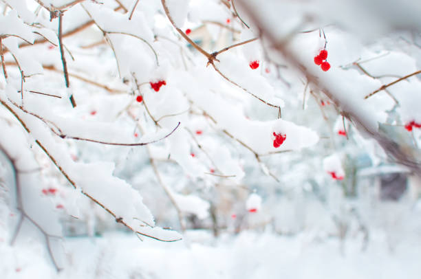 several red ripe fruits of viburnum covered in snow and hanging on branches in a garden - february stock photos and pictures