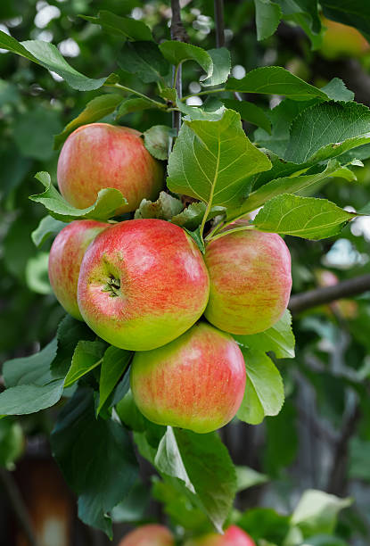 Several red-green apples on a branch. stock photo