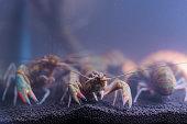 Several river prawns in a glass cabinet
