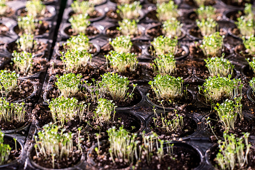 615599804 istock photo Several rows of small pots with tiny green seedlings growing in greenhouse 1191015392