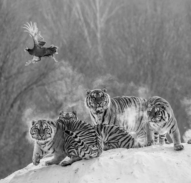 Several siberian (Amur) tigers are standing on a snow-covered hill and catch prey. Black and white. China. Harbin. Mudanjiang province. Hengdaohezi park. Siberian Tiger Park. stock photo
