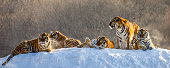 Several siberian (Amur) tigers on a snowy hill against the background of winter trees. China. Harbin. Mudanjiang province. Hengdaohezi park. Siberian Tiger Park. Winter. Hard frost. (Panthera tgris altaica)
