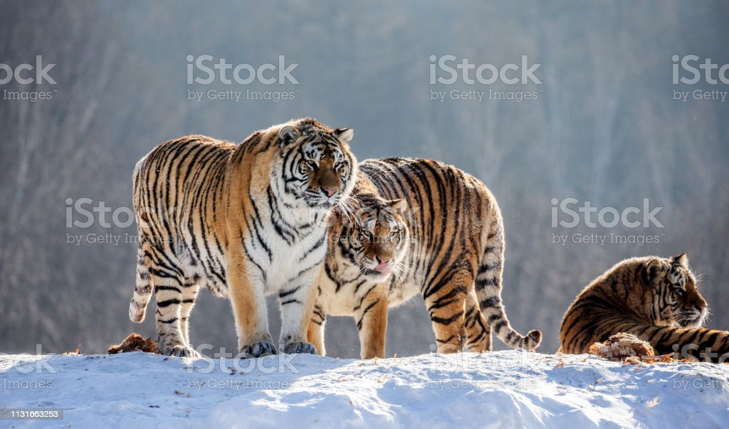 Several siberian (Amur) tigers on a snowy hill against the background of winter trees. China. Harbin. Mudanjiang province. Hengdaohezi park. Siberian Tiger Park. Winter. Hard frost. stock photo