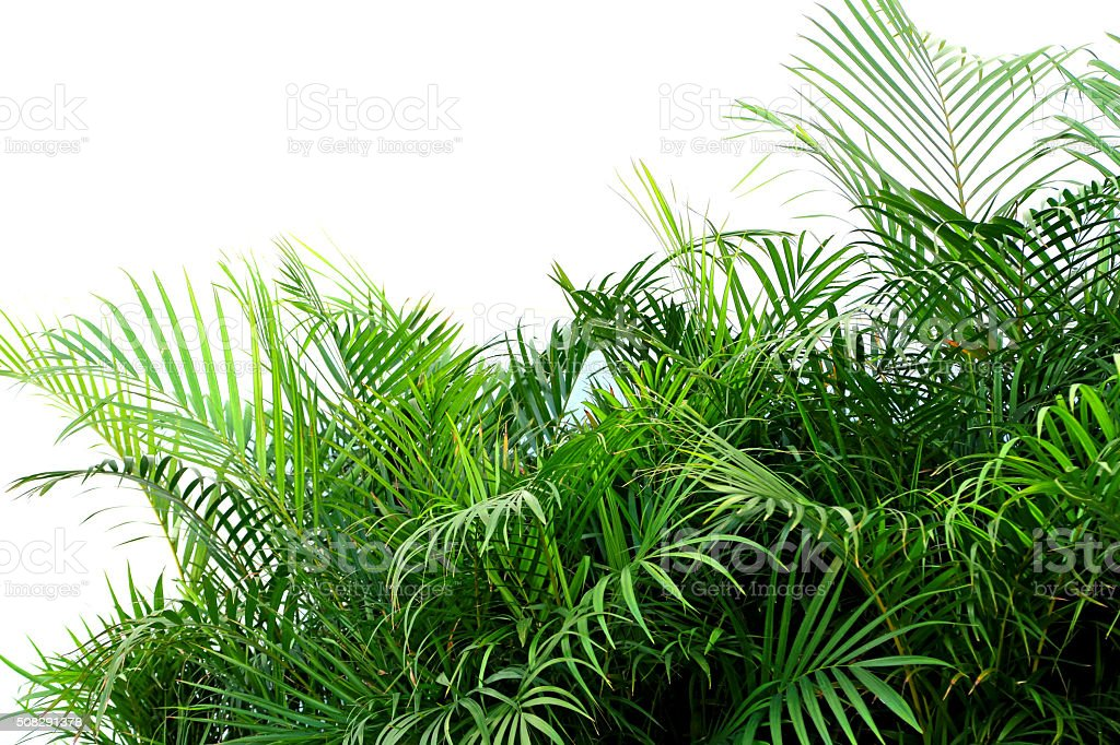 Several small green palms in planter on a white background stock photo