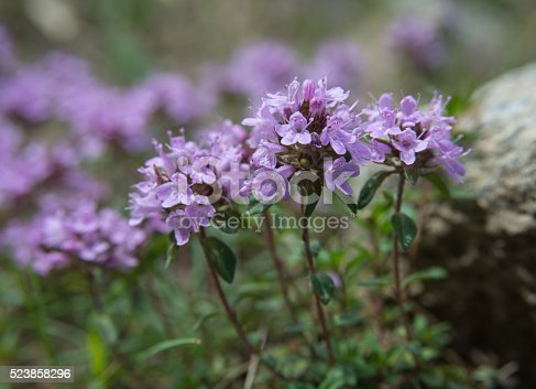 istock several Thyme flowers - close-up 523858296
